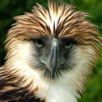 PHILIPPINE EAGLE THREATENED BY SARANGANI WILDLIFE POACHERS